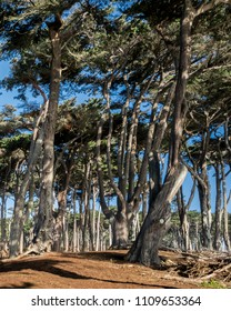A rare monterey cypress (Cupressus macrocarpa) forest resembling more what San Franscisco was like before being settled. Land's End, California, USA.