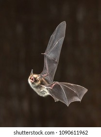 Rare Natterer's bat (Myotis nattereri) in flight on church attic with distinctive white belly