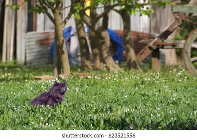 A rare Nebelung cat in a country meadow