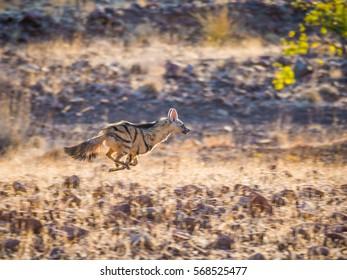 Rare nocturnal Aardwolf running or fleeing in golden afternoon light