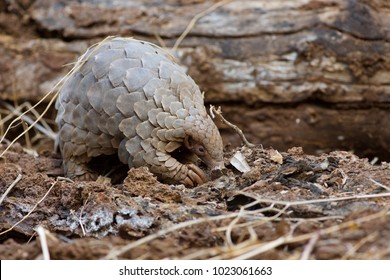 Rare pangolin searching for food
