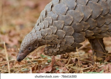 Rare pangolin walking