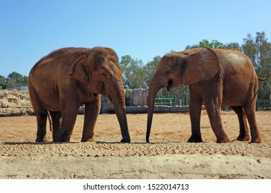 rare Picture of two elephants, one Asian elephant and an African elephant