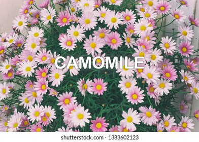 Rare Pink Camomiles macro background. Bouquet of pink with white camomile. Greeting card with Camomile