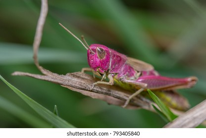 Rare Pink colour form of Meadow Grasshopper - Chorthippus parallelus
