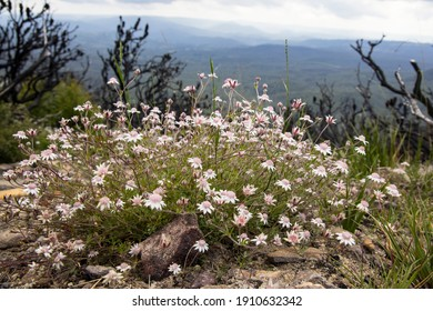 Rare Pink Flannel Flowers flowering after 2020 bushfires in Eastern Australia