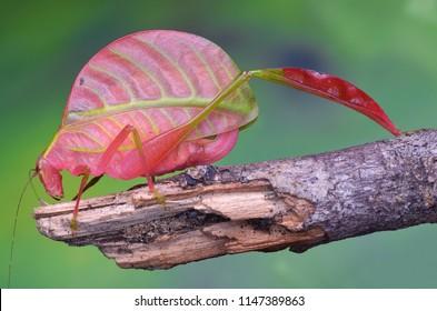 The rare Pink Katydid Of Sabah - Eulophophyllum lobulatum