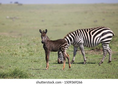 Rare polka-dotted zebra foal in Masai Mara