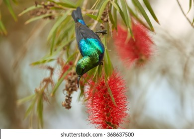 Rare Purple-banded Sunbird Cinnyris bifasciatus, african nectar feeding bird with glossy, metallic green head and back and bright purple band across the chest,feeds on nectar from red mimosa flowers.
