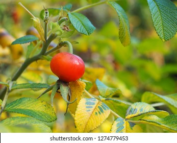 The rare red berry fruit on the Daphne Odora tree is reported as highly poisonous