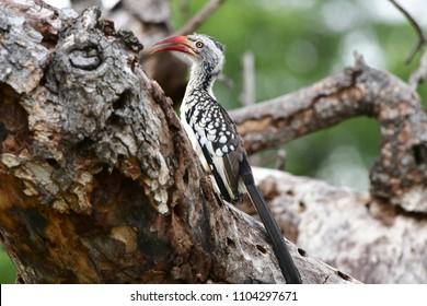 rare red billed hornbill in Kruger national park,South Africa
