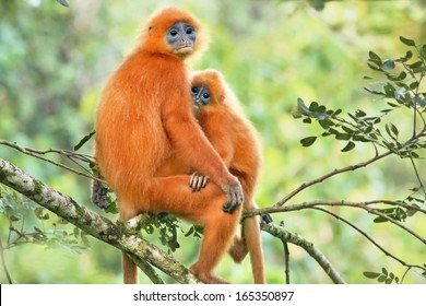 Rare Red or Maroon Leaf Monkey (Presbytis rubicunda) mother & baby in the jungles of Borneo. This is a beautiful and brightly coloured Langur species. Love, affection, and bonding with mom and child.