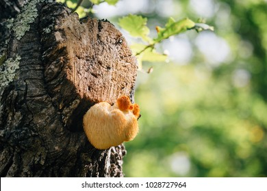 Rare relic tree fungus- lion's mane mushroom from Sikhote-Alin Natuture Reserve in Far East Russia