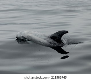 A rare Rizzos dolphin is barely below the waters surface