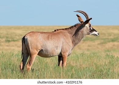 A rare roan antelope (Hippotragus equinus) standing in grassland, Mokala National Park, South Africa