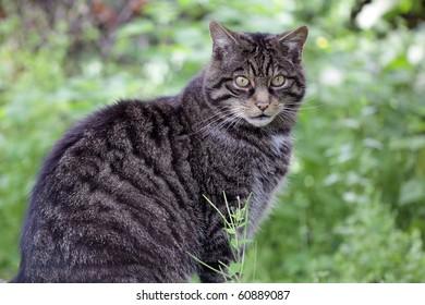Rare Scottish wild cat not in captivity