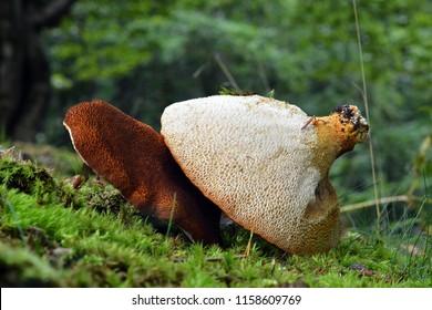 rare scutiger pes caprae mushroom in the wild