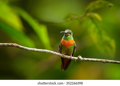 Rare, shining grass green with rufous breast band colored hummingbird, male, Gould's Jewel-front Heliodoxa aurescens perched on twig against blurred forest background. Sumaco volcano area, Ecuador.