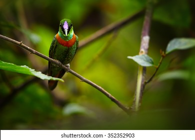 Rare, shining grass green with rufous breast band hummingbird, male, Gould's Jewel-front Heliodoxa aurescens perched on diagonal twig. Dark green forest background. Sumaco volcano area, Ecuador.
