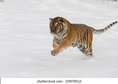 Rare Siberian Tiger running in fresh snow