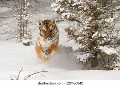 Rare Siberian Tiger running in snow between trees