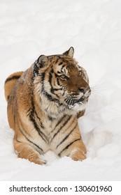Rare Siberian Tiger running in snow