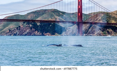 Rare sighting of mother humpback whale, Megaptera novaeangliae, swimming with baby in San Francisco Bay with Golden Gate Bridge in background
