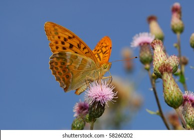 rare silver washed fritillary butterfly