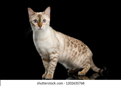 Rare Snow White Bengal Cat with Blue eyes Standing and Looking in Camera on isolated Black Background with reflection, side view