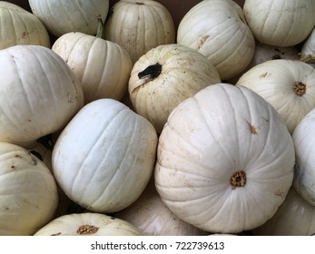 Rare Spooky white pumpkins ready for Halloween a Spooky Fun Holiday celebrated in America