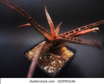 Rare succulent red aloe dorothea background