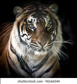 Rare Sumatran Tiger Isolated on Black Background