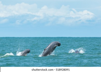 Rare thai finless whale jumping off of water
