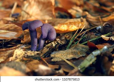 rare tiny purple mushroom (amethyst deceiver) on a leaf covered forest floor