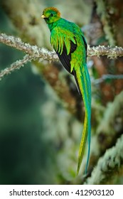 Rare tropical bird from mountain cloud forest. Resplendent Quetzal, Pharomachrus mocinno, magnificent sacred green bird with very long tail, Guatemala, Central America.