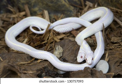 A rare two-headed Californian King-snake at a zoo, Lampropeltis getulus californiae