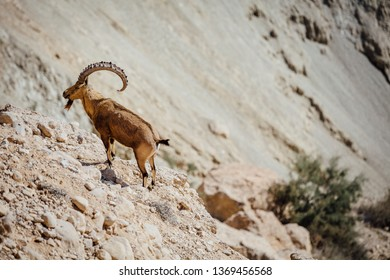 Rare and unique  Nubian ibex also known as Capra nubiana in desert view on daylight.