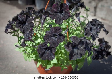 A rare variety of Petunia flower is black velvet buds. Hanging pot in the garden with blooming petunia buds.