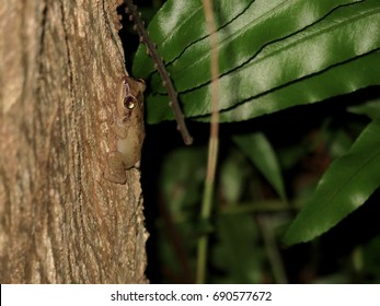Rare View of Tiny Camouflaged Coqui Frog Climbing a Tree in Puerto Rico at Night