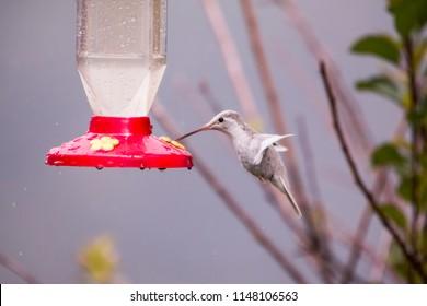 Rare white Leucistic Magnificent Hummingbird (Eugenes spectabilis) San Gerardo de Dota, Costa Rica