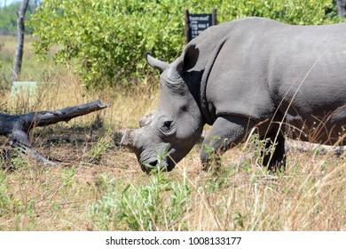 Rare White Rhino, Okavango Delta, Botswana