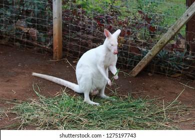Rare white wallaby eats grasses