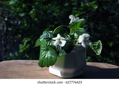 Rare white wild violets in a white ceramic pot on the balcony