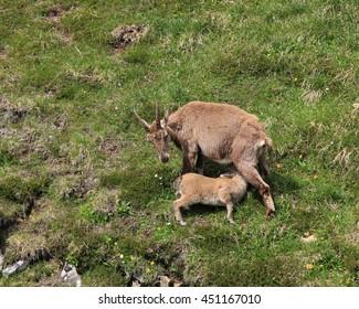 Rare wild animals living in the Alps. Female alpine ibex feeding her baby.