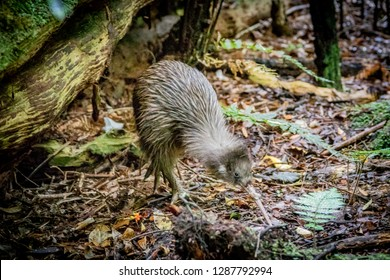 Rare wild Kiwi bird foraging in forest of Ulva Island, New Zealand, the only place where Kiwi birds can be seen during daytime. Southern Brown Kiwi, Apteryx Australis.