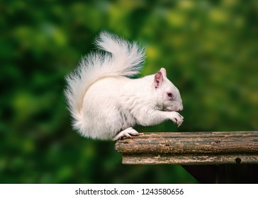 A rare wild white albino squirrel sitting on a wooden platform eating with his fluffy tail curled up above his head.