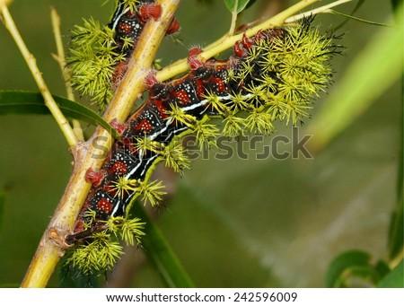 Sưu tập Bộ cánh vẩy  - Page 19 Rare-zephyr-bullseye-moth-caterpillar-450w-242596009
