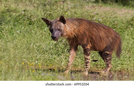 Rarely seen image of a Brown Hyena