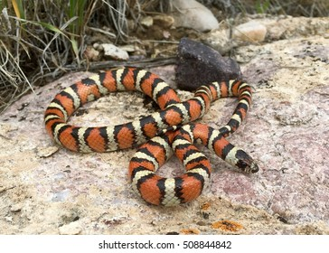 A rarely seen species of snake, Utah Milk Snake, Lampropeltis (triangulum) gentilis (taylori), coral snake mimicking colors