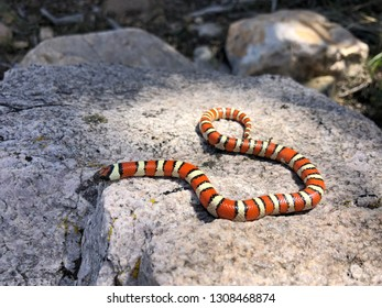 The rarely seen Utah milk snake, a western milksnake species, Lampropeltis gentilis (taylori)